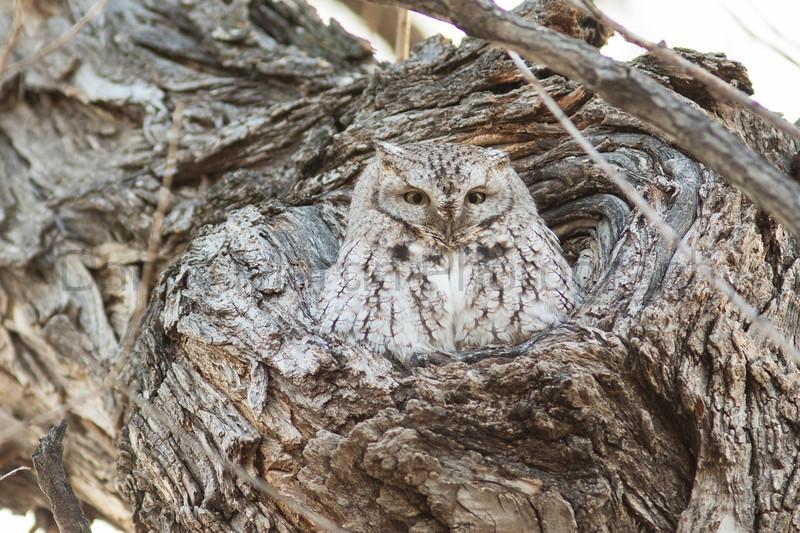 Eastern Screech Owl<br /> Larimer County, Colorado