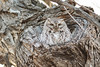 Eastern Screech Owl<br /> Larimer County, Colorado