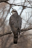 Northern Goshawk<br /> Larimer County, Colorado