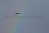 Swainson's Hawk & rainbow<br /> Jackson County, Colorado.