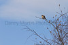 American Kestrel (adult male)<br /> Larimer County, Colorado.