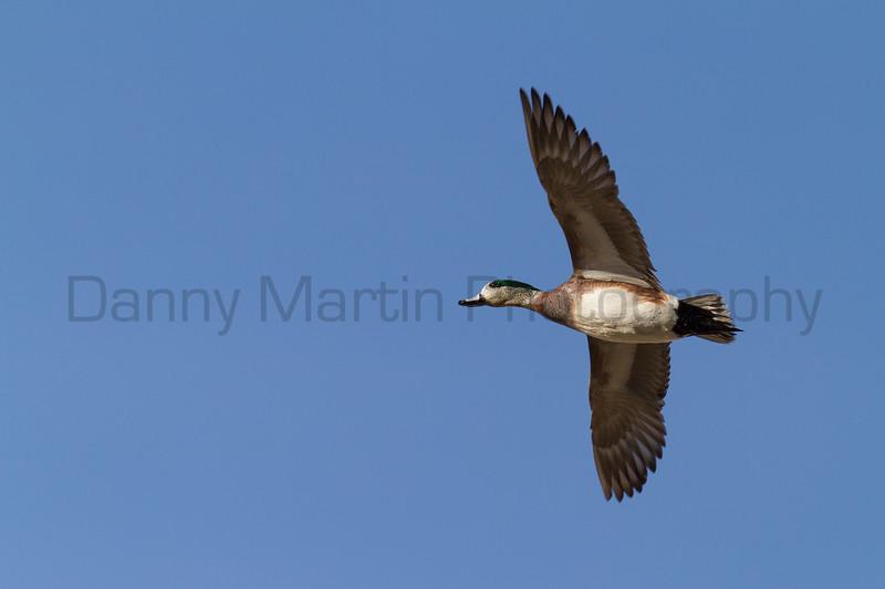 American Wigeon (drake in flight)<br /> Larimer County, Colorado