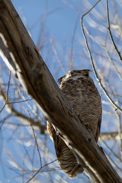 Great Horned Owl<br /> Larimer County, Colorado