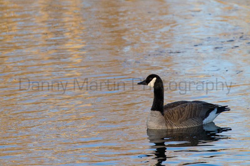 Canada Goose<br /> Larimer County, Colorado
