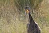 Wild Turkey Randall County, Texas