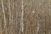 American Kestrel (female)<br /> Larimer County, Colorado