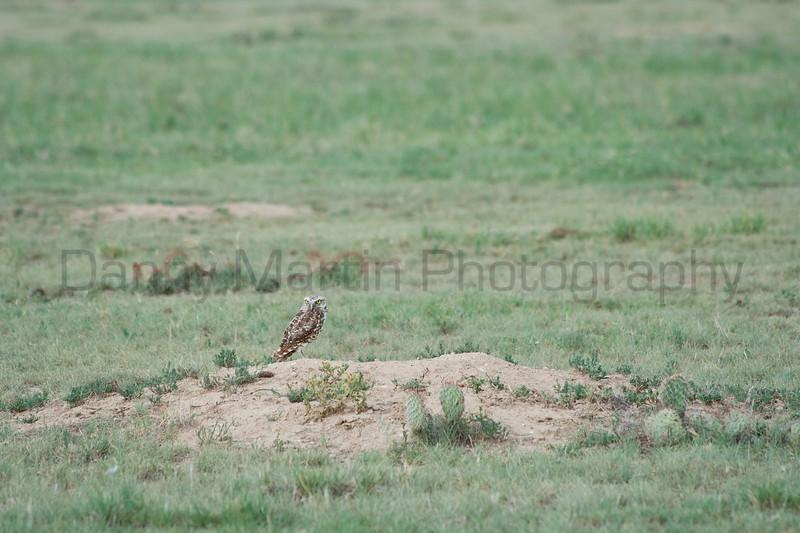 Burrowing Owl on Black-tailed Prairie Dog mound<br /> Comanche National Grassland, Otero County, Colorado.