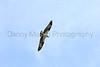 Osprey in flight<br /> Fort Collins, Colorado