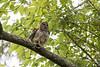 Barred Owl shaking rain from feathers<br /> Jefferson Parish, Louisiana