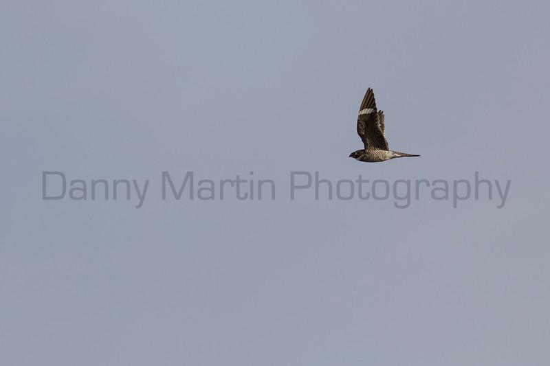 Common Nighthawk in flight<br /> Weld County, Colorado