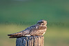 Common Nighthawk<br /> Pawnee National Grassland, Colorado