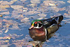 """Wood Duck drake<br /> Arapahoe County, Colorado<br /> *This photo was printed as """"October"""" in the 2016 Colorado Lottery """"Taking Flight"""" bird calendar."""