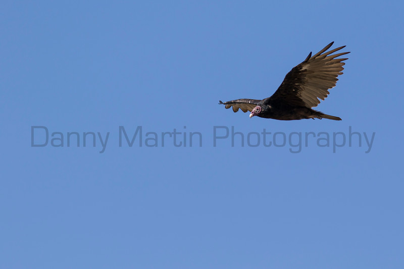 Turkey Vulture soaring<br /> Briscoe County, Texas