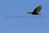 Turkey Vulture soaring<br /> Briscoe County, Texas