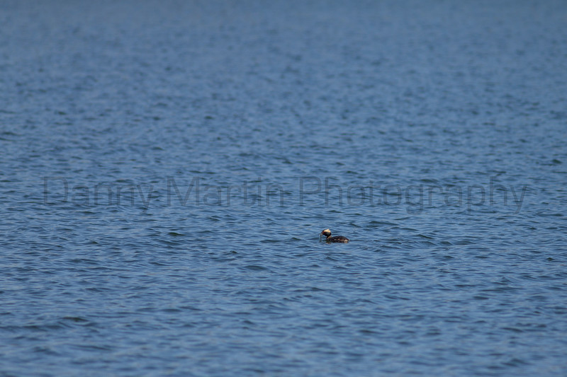 Horned Grebe with fish prey<br /> Larimer County, Colorado