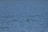 Horned Grebe with fish prey<br /> Larimer County, Colorado