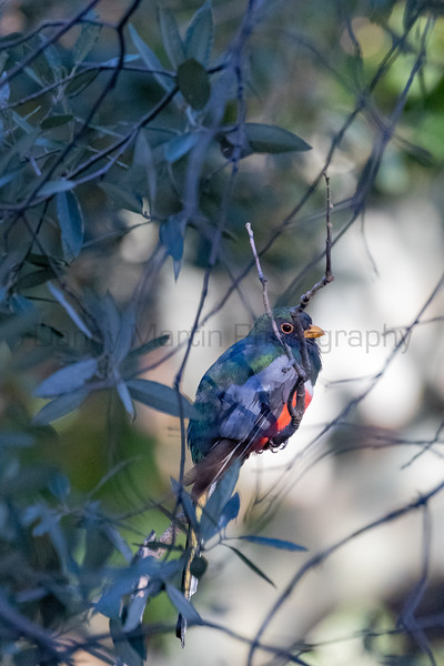Elegant Trogon (male)<br /> Pima County, Arizona