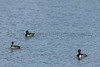 Ring-necked Ducks<br /> Larimer County, Colorado