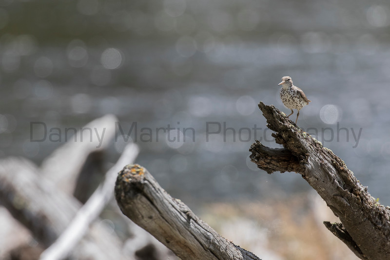 Spotted Sandpiper<br /> Park County, Wyoming