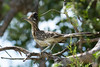 Greater Roadrunner perched in Cottonwood<br /> Pratt County, Kansas.