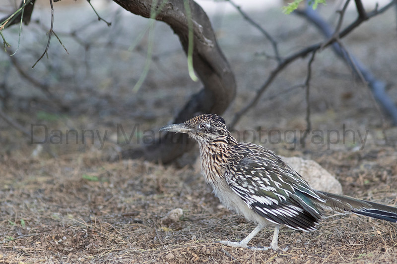 Greater Roadrunner<br /> Pima County, Arizona