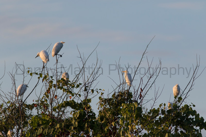 Cattle Egrets at rookery, Tammany Parish, Louisiana