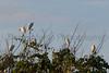 Cattle Egrets at rookery, Tammany Parish, Louisiana
