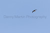 Vaux's Swift in flight<br /> Santa Cruz County, Arizona
