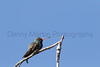 Broad-billed Hummingbird (male)<br /> Pima County, Arizona