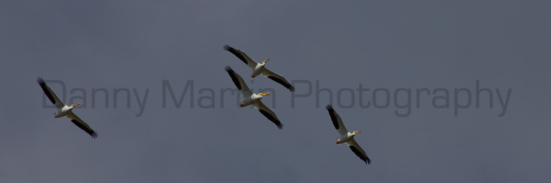 White Pelicans, in flight.  Broomfield County, Colorado.