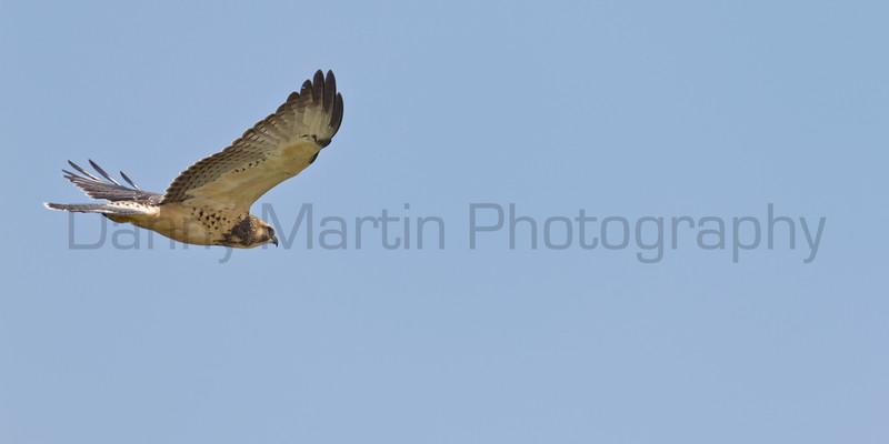 Swainson's Hawk<br /> Buffalo Lake National Wildlife Refuge, Texas.
