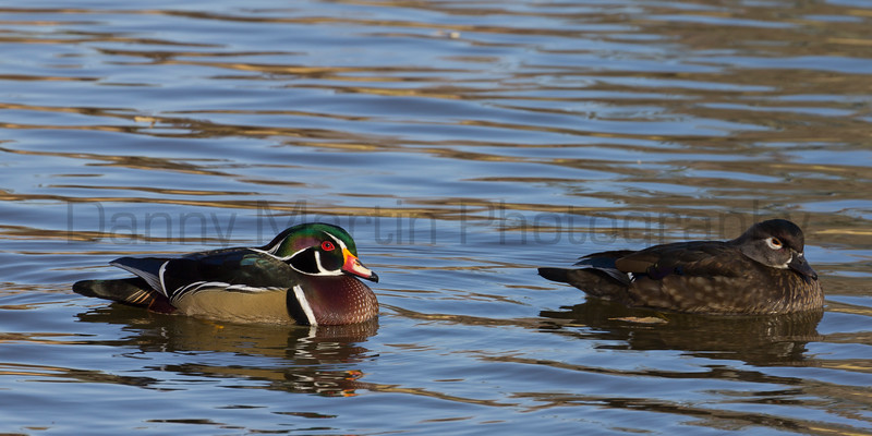 Wood Ducks<br /> Arapahoe County, Colorado.