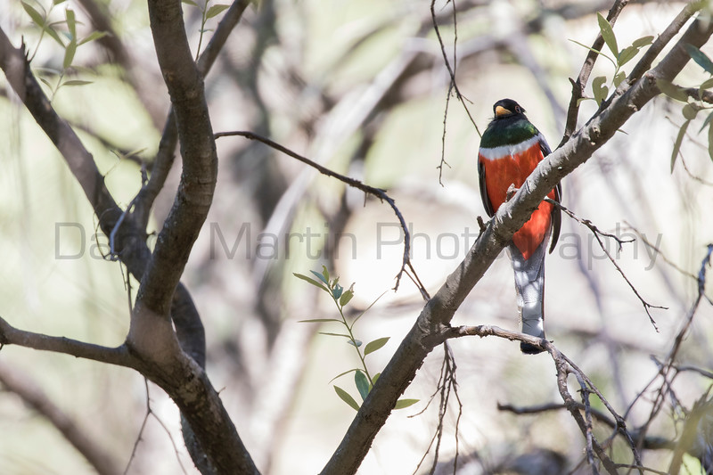 Elegant Trogon (male)<br /> Cochise County, Arizona