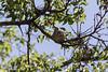 Hummingbird on nest<br /> Santa Cruz County, Arizona