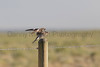 Common Nighthawk landing on fence post<br /> Weld County, Colorado
