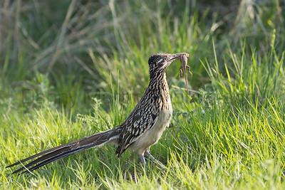 Greater Roadrunner with Prairie Lizard prey Randall County, Texas