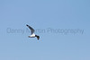 Franklin's Gull in flight<br /> Larimer County, Colorado