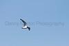 Franklin's Gull in flight<br /> Larimer County, Colorado