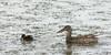 Northern Shoveler hen & ducklings<br /> Jackson County, Colorado