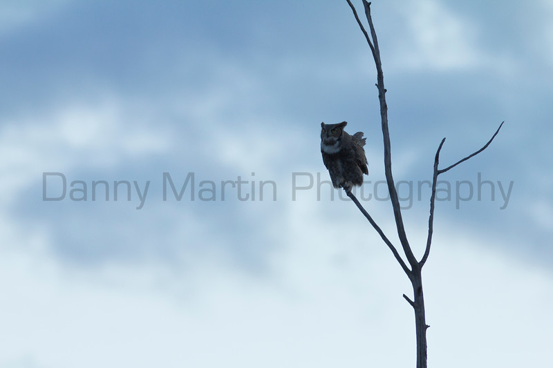 Great Horned Owl at dusk, calling<br /> Bailey County, Texas