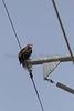 Bald Eagle (immature) on powerline pole<br /> Larimer County, Colorado
