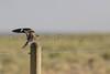 Common Nighthawk landing on fence post<br /> Weld County, Colorado