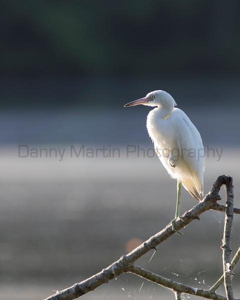 Little Blue Heron (subadult)<br /> Tammany Parish, Louisiana