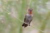 Anna's Hummingbird (subadult male)<br /> Pima County, Arizona