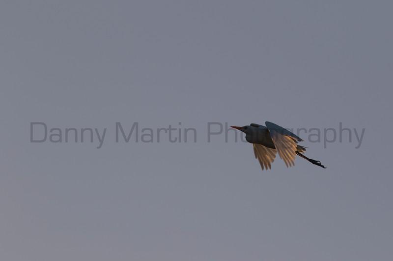Cattle Egret, Tammany Parish, Louisiana
