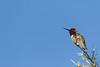 Anna's Hummingbird (male)<br /> Pima County, Arizona