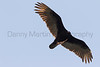 Turkey Vulture <br /> Santa Cruz County, Arizona