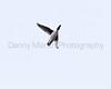 Common Goldeneye drake in flight<br /> Larimer County, Colorado