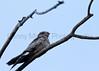 Common Nighthawk<br /> Muleshoe National Wildlife Refuge, Texas.