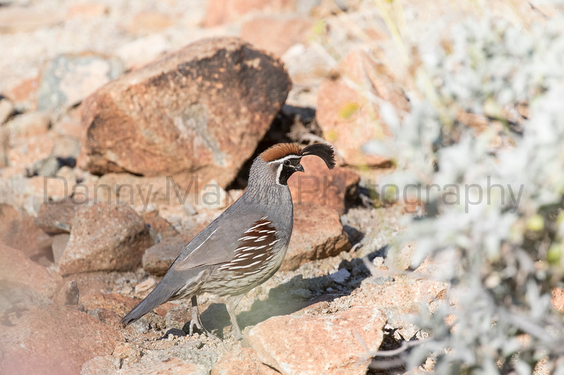 Gambel's Quail (male)<br /> Pima County, Arizona
